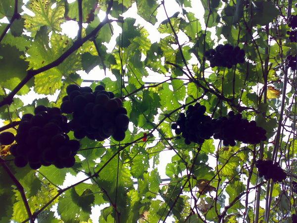 從下往上照的葡萄藤和葡萄串