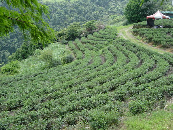 櫛比鱗次的茶樹