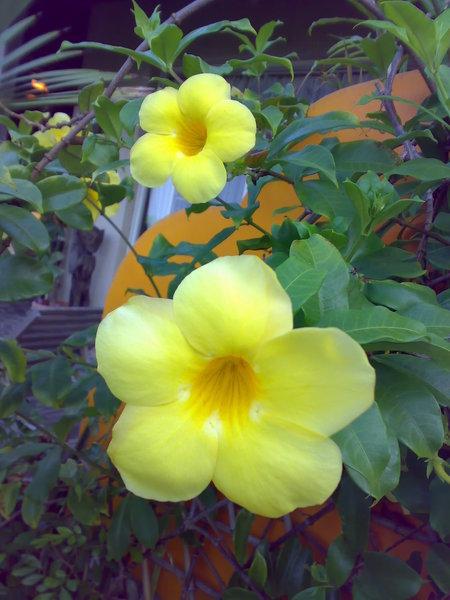 生得嬌豔的軟枝黃蟬
