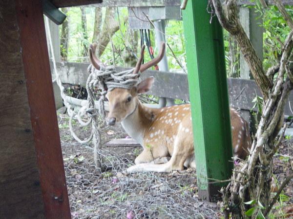羊圈的柵欄後面有隻無辜的大雄鹿,因為鹿角長得完備只能被綁著