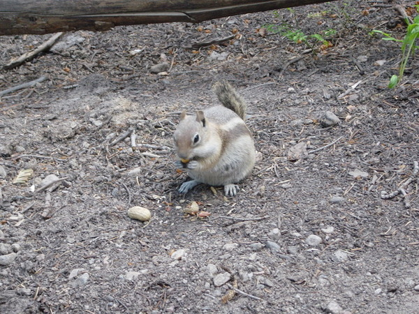 又是滿地可見的花栗鼠
