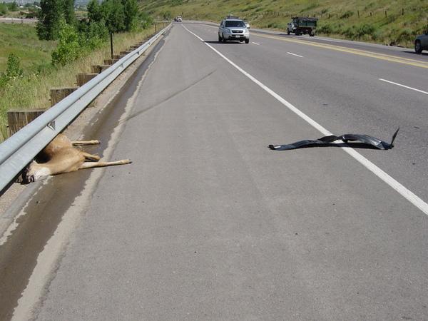 被撞飛的鹿和我們車子散落的零件