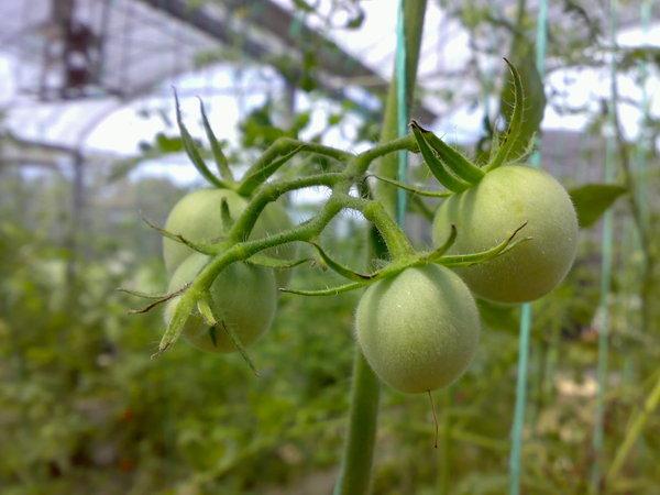水蜜桃番茄之所以叫做水蜜桃是因為它有毛 XD