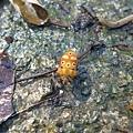 照片 010-黃斑角盾椿