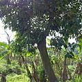 照片 028-錫蘭橄欖