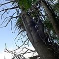 照片 019-鐘萼木