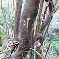 照片 022-鐘萼木嫩芽