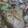 照片 039-台灣鈍頭蛇的屍