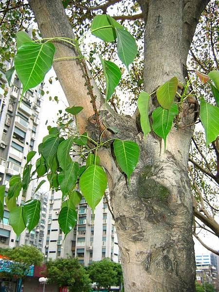 照片 025-菩提樹