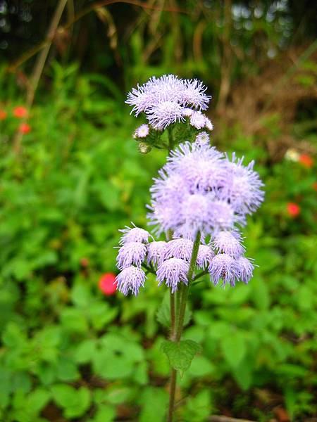 照片 013-紫花藿香薊