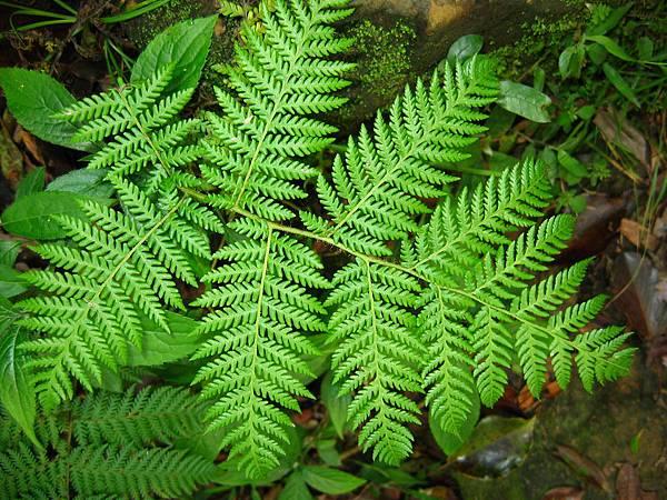 照片 019-熱帶鱗蓋蕨