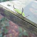 照片 029-石牆蝶的幼蟲.jpg