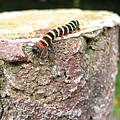 照片 008-長斑擬燈蛾(幼蟲)