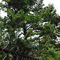 照片 018-油杉.jpg