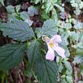 照片 038-紫花鳳仙花