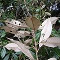 葉背-赤皮.jpg