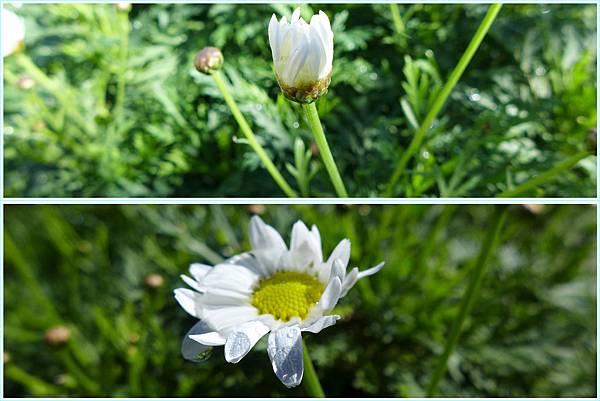 照片 017-白色的瑪格麗特菊.jpg