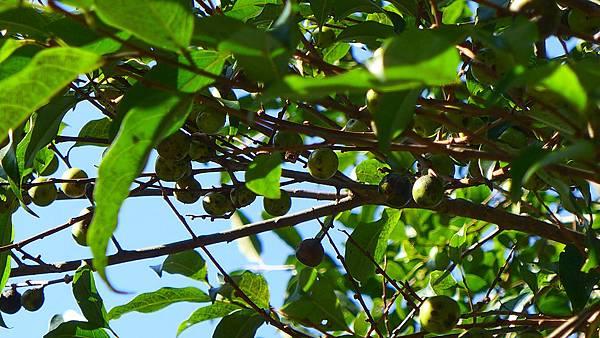 照片 002-山紅柿.jpg