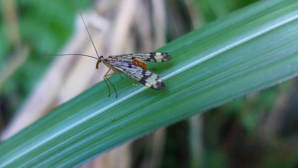 照片 005-斑翅蠍蛉