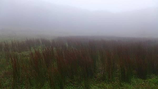 照片 033-燈心草科多年生水生植物