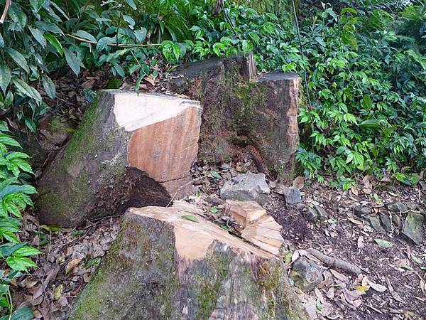 照片 113-牛樟木樹瘤的盜伐.jpg
