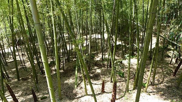 照片 044-竹子湖的孟宗竹林.jpg