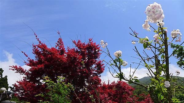 照片 046-松月櫻 紫葉槭.jpg