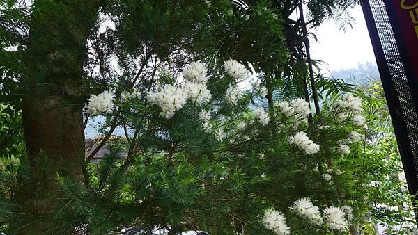 照片 001-澳洲茶樹.jpg