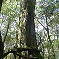 照片 006-巨木.jpg