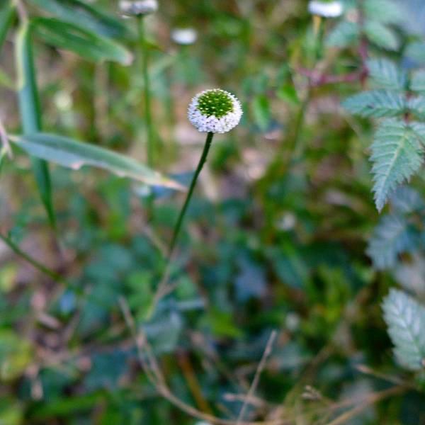 照片 026-矮菊.jpg