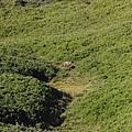 照片 097-雌水鹿.jpg