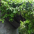 照片 053-平水民宅的百香果.jpg