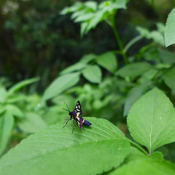 照片 003-雙黃環鹿子蛾.jpg