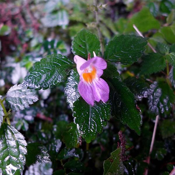 照片 066-紫花鳳仙花.jpg