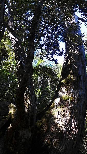 照片 004-第一棵大檜木.jpg