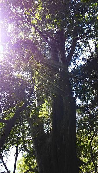 照片 012-左側巨木(約5人合抱).jpg