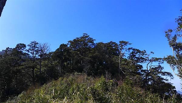 照片 024-鐵杉.jpg