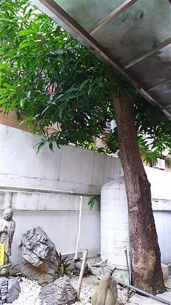 照片 081-50年芒果樹.jpg