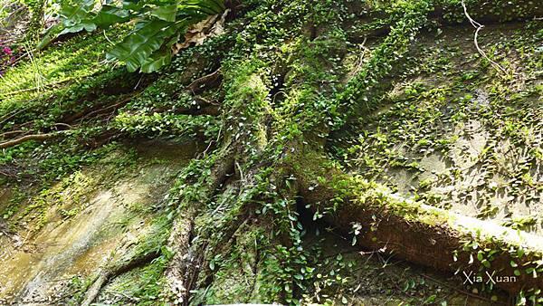 照片 060-步道上檔土牆的樹根.jpg
