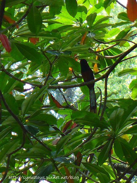 照片 113-白腰鵲鴝公鳥.jpg