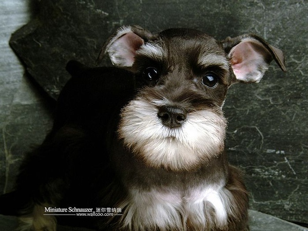 Miniature-Schnauzer-puppy-photo-83427_wallcoo.com.jpg