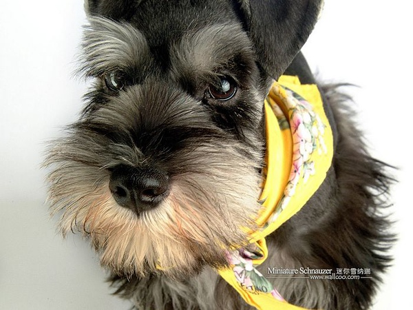 Miniature-Schnauzer-puppy-photo-83445_wallcoo.com.jpg