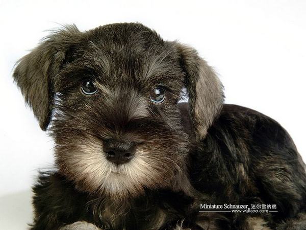 Miniature-Schnauzer-puppy-photo-83485_wallcoo.com.jpg