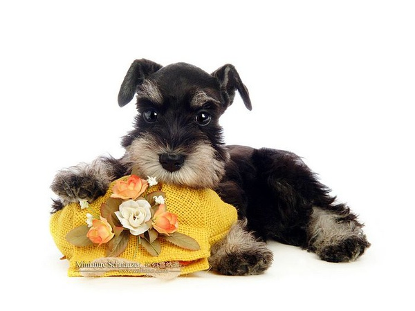 Miniature-Schnauzer-puppy-photo-83488_wallcoo.com.jpg