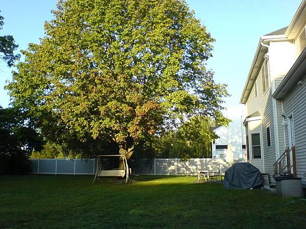 後院中央的大樹.JPG