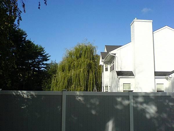 鄰居比房子高的楊柳樹.JPG