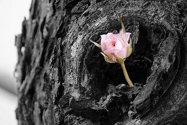 黑白粉紅玫瑰A