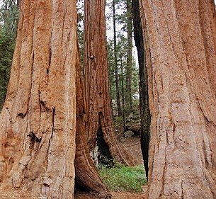 加州紅杉2