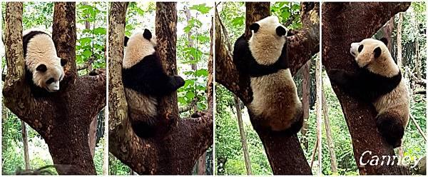 熊貓1.jpg