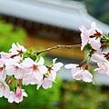 遲開的櫻花